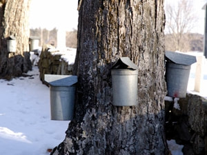 Maple Production